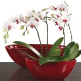 Scheurich Orchideenschiff Zen Dark Red